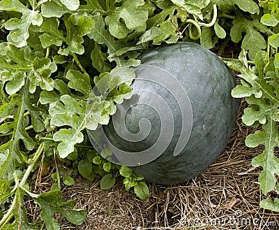 Garden squash