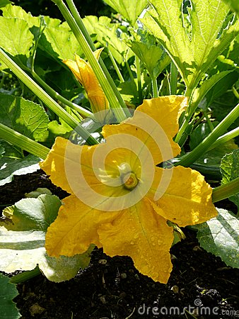 Vegetable garden: squash flower - v