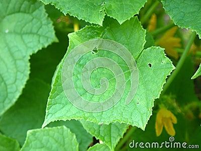 Vegetable garden: squash leaves and flower