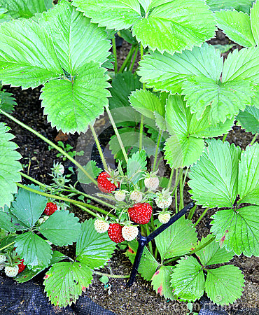 Garden strawberry plant with ripening berries