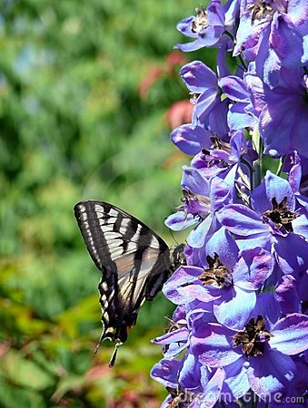 Free Garden Swallowtail Butterfly Royalty Free Stock Photos - 6459058