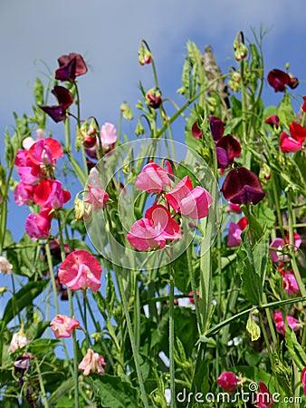 Garden: sweet pea flowers - v