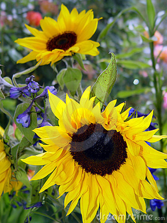 Free Garden With Sunflowers Stock Image - 56961