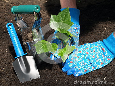 Garden work: ivy seedling