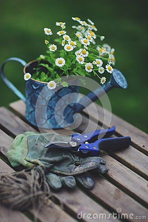 Free Garden Work Still Life In Summer. Chamomile Flowers, Gloves And Tools On Wooden Table Royalty Free Stock Photography - 108708807