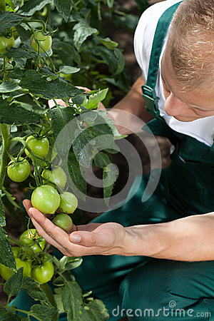 Free Gardener Caring About Tomatoes Royalty Free Stock Photography - 43018647