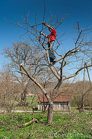 Gardener cutting tree with clippers