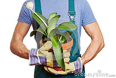 Gardener holding paintbrush plant