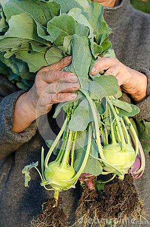 Gardener with kohlrabi plants