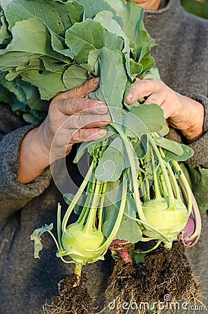 Gardener with kohlrabi plants