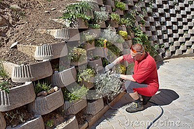 Gardener relies flowers in retaining concrete wall
