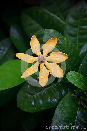 Gardenia carinata wallich flower with fresh water