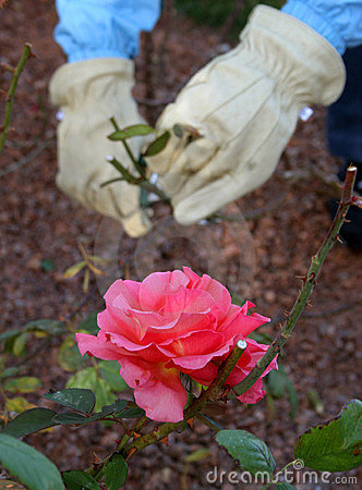 Gardening at a Rose Bush