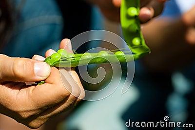 Gardening in summer - woman harvesting peas