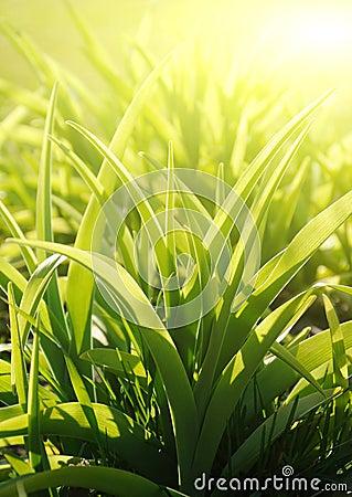 Gardens grass, sunny morning (shallow dof)
