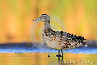 The Garganey Anas querquedula