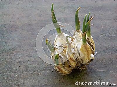 Garlic Clove Sprout