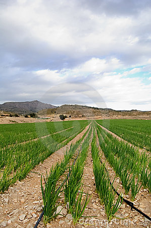 Garlic plants - Meadow