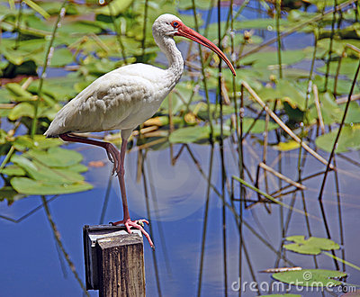 Garnitures D'IBIS Et De Lis Images stock - Image: 20387424