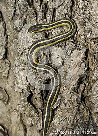 Free Garter Snake Stock Photo - 5000660