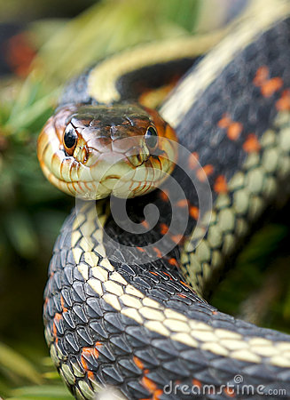 Free Garter Snake Stock Image - 64141781