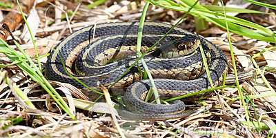 Garter Snake in Illinois