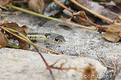 Garter snake peek
