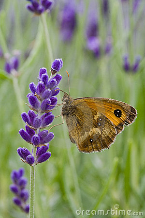 Gatekeeper Butterfly on Lavandula