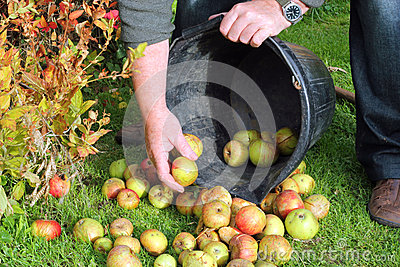 Gathering apples from the grass.