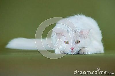 Gatinho branco no relógio