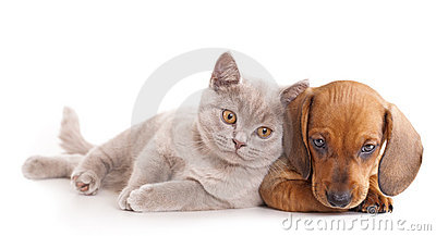 Gatinho e puppydachshund