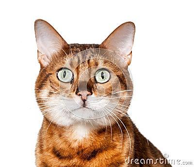 Gatito de Bengala que parece dado una sacudida eléctrica y el mirar fijamente