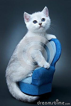 Gatito de la casta británica.