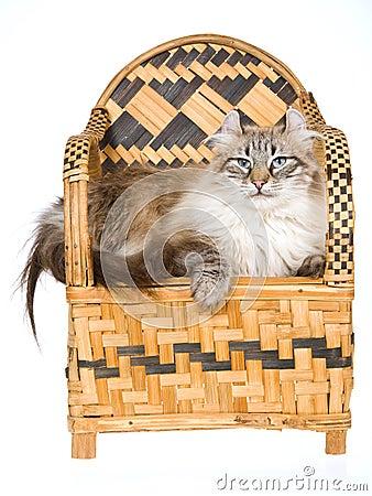 Gato americano hermoso del enrollamiento en silla de bambú tejida