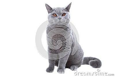 Gato Azul Britânico
