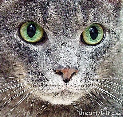 Gato Azul Do Russo