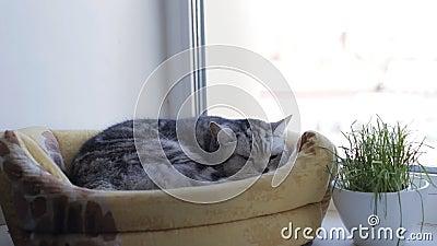 Gato britânico está em sua casa e olha pela janela filme