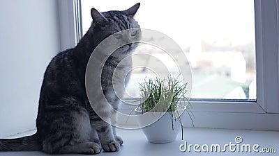 Gato britânico está sentado na janela ao lado de grama verde fresca filme