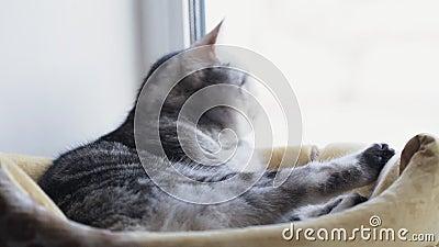 Gato britânico lava-se sentado em sua casa filme