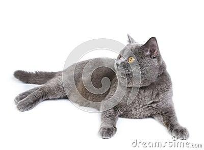 Gato britânico