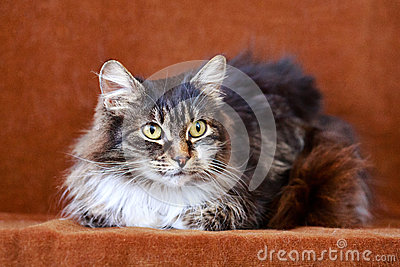 Gato cinzento com olhos grandes