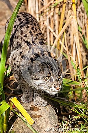 Gato da pesca que desengaça através da grama longa