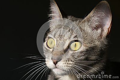 Gato de acecho del gatito