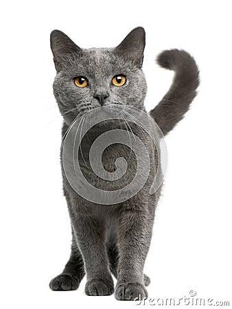 Gato de Chartreux, 16 meses, colocándose