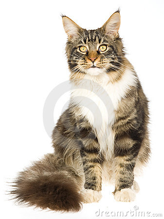 Gato de Coon bonito de Maine