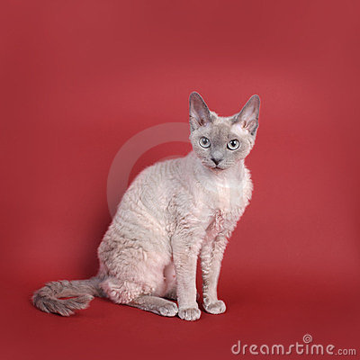 Gato de Devon Rex