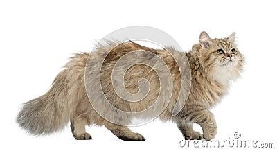 Gato de pelo largo británico, 4 meses, recorriendo