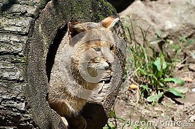 Gato De Selva