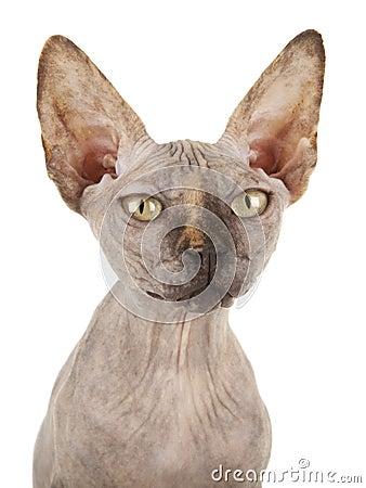 Gato de Sphynx