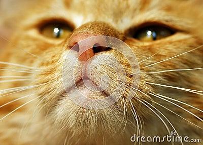 Gato de Tabby alaranjado